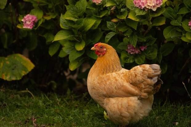 Японцы тоскуют по российской курице. Взамен готовы отдать мраморную говядину