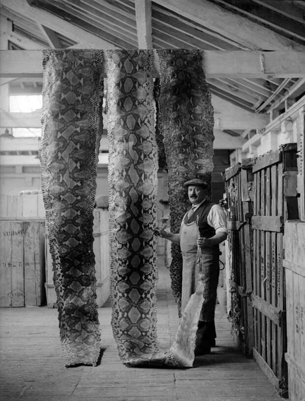 Дамы будут в восторге. Да из них шубы можно шить. ) Просушка змеиных шкур на складе Лондонского порта, 16 сентября 1930 история, мгновения жизни, фотография