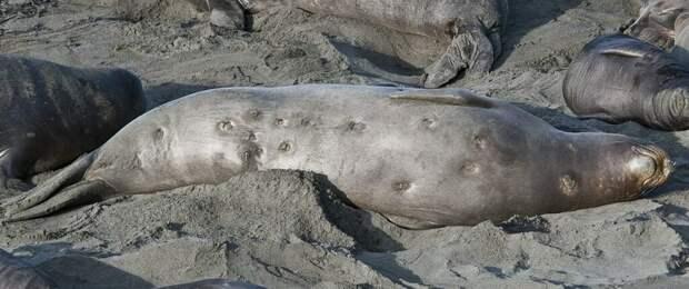 Этой самке морского слона сильно не повезло стать жертвой атаки бразильской светящейся акулы. Укусы этой рыбы редко приводят к смерти морских обитателей, но доставляют им массу мучений / ©Jerry Kirkhart | Wikimedia