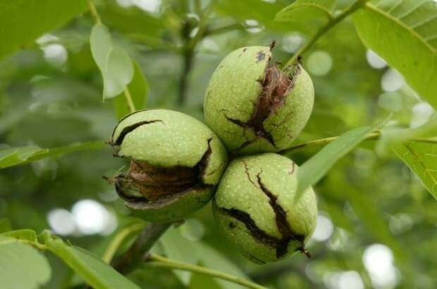 Если орехи еще свежие, избавляться нужно от обеих скорлупок / Фото: rastenijainfo.ru