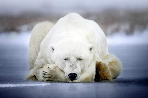 F0175601-Polar_bear_sleepin.jpg