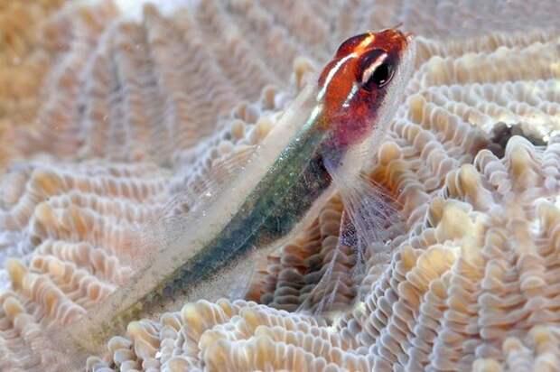Карликовый бычок рыбка с самым коротким телом