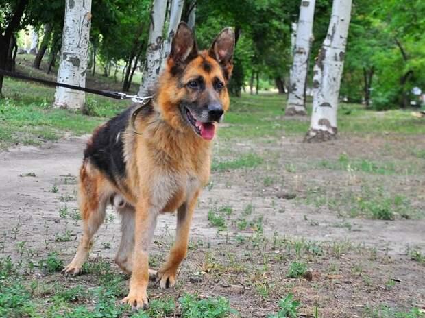 Хозяева посадили пса в машину и вывезли за город. Овчарка неделю ждала хозяев, которые её предали и бросили