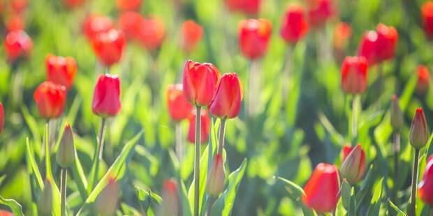 В Алтуфьеве высадят более 100 тысяч луковиц тюльпанов