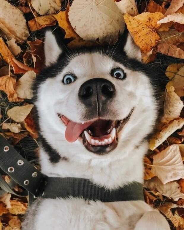 20 забавных фото сибирских хаски, которые обязательно поднимут настроение