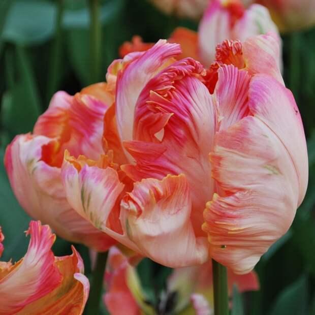 Попугайный тюльпан сорта Эприкот Пэррот (Apricot Parrot)