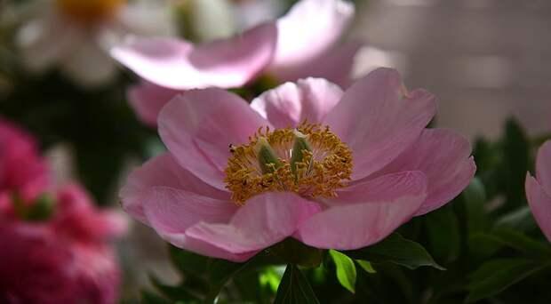 Розовые пионы: 10 самых красивых сортов розовых пионов раннего срока цветения