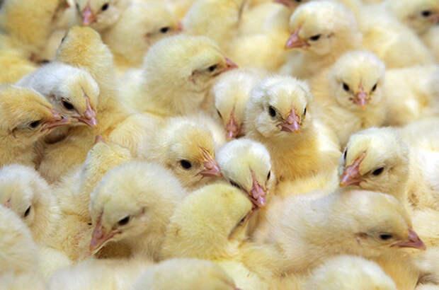 Кабмин выделит 1 млрд рублей на поддержку птицефабрик