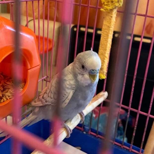 Потерявшийся попугай на Рождественской влюбил в себя своих спасителей