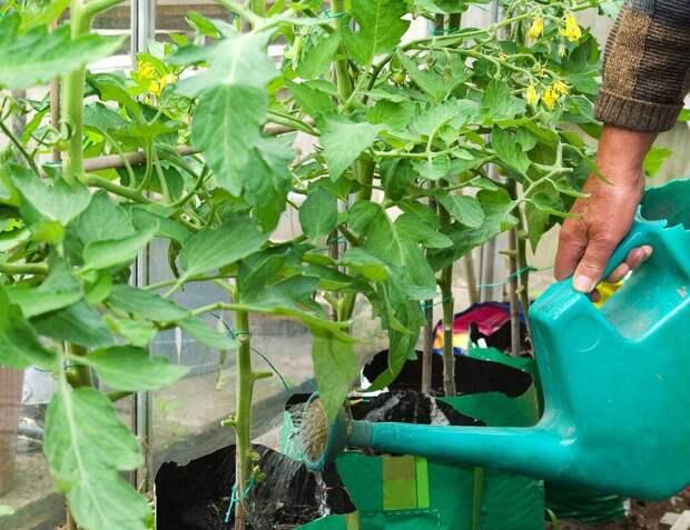 Универсальная подкормка, которая подарит хороший урожай томатов