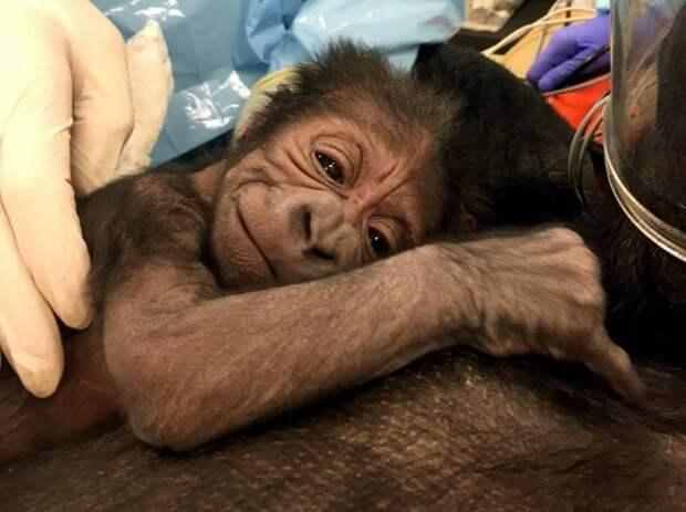 В зоопарке Филадельфии группа акушеров помогла горилле родить детеныша