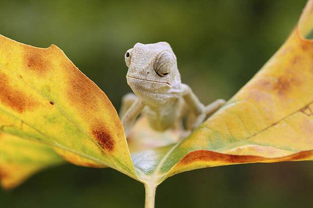 cute-baby-chameleons-58358b384443f__700