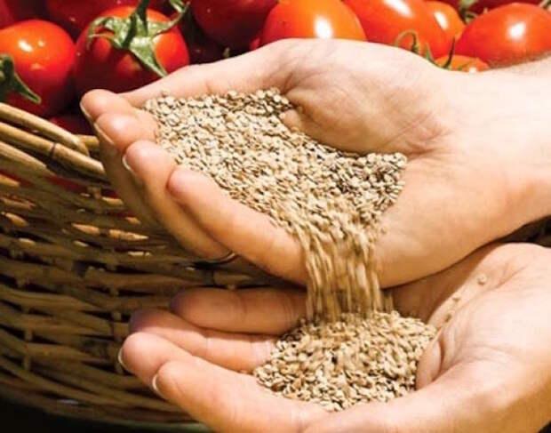 Без особых проблем собираю семена помидоров