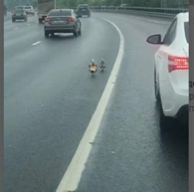 Огари с огарятами решили пройтись по Ярославскому шоссе
