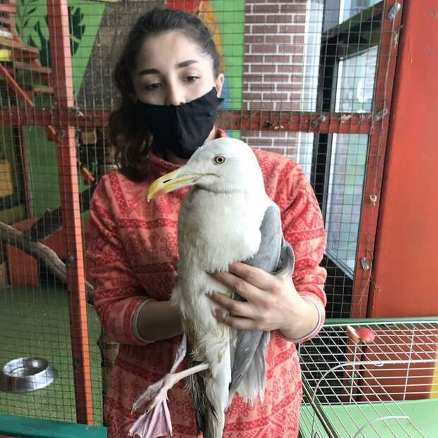 Серебристые чайки - крупные и агрессивные. Но спасенная в Иркутска птица стала совсем ручной