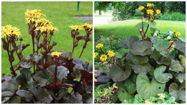 Бузульник зубчатый сорт 'Othello', фото сайта Grows on You и сорт Desdemona, фото сайта Gardening Impulse1
