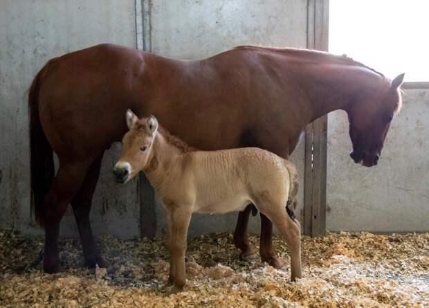 Ученые впервые клонировали лошадь Пржевальского