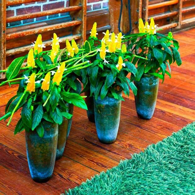 Комнатное растение Пахистасис (Pachystachys)
