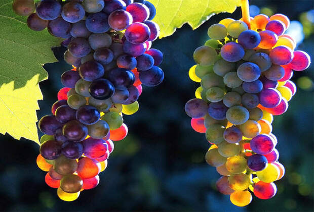 Генетический разбор винограда.