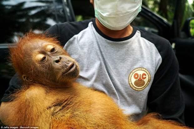 Пальмовые плантации наступают: орангутанам пришлось искать новый дом