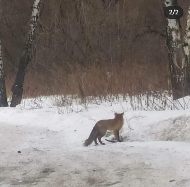 В сквере по Олонецкому проезду обедала лисица