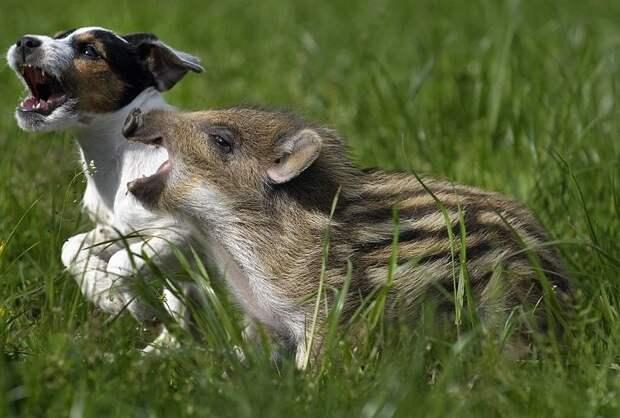 Картинки по запросу puppy and pig