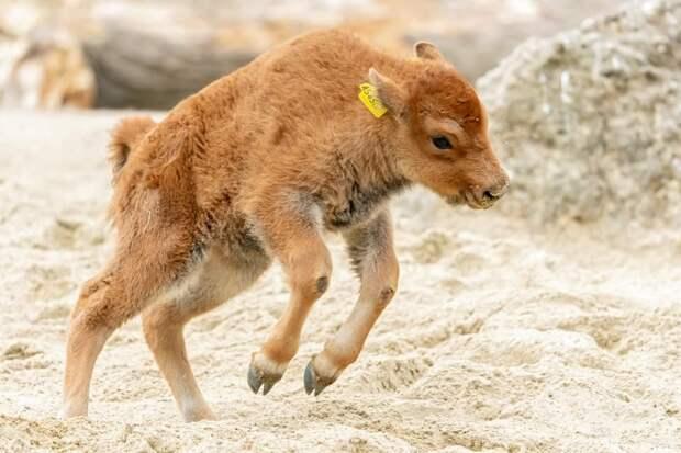 Телячьи нежности: новорожденный бизон играет с мамой