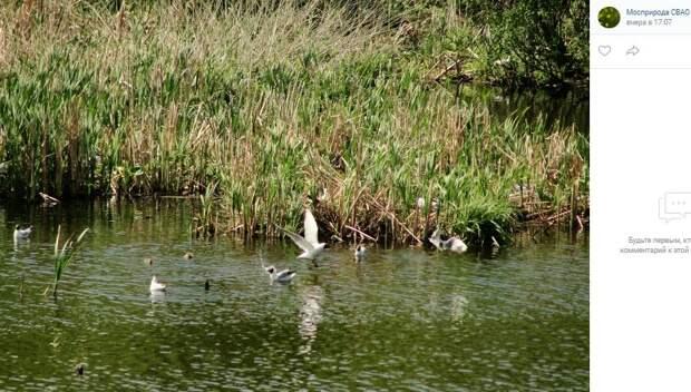 У озёрных чаек на Долгих прудах начали появляться птенцы – Мосприрода