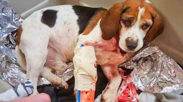 Раненая собака