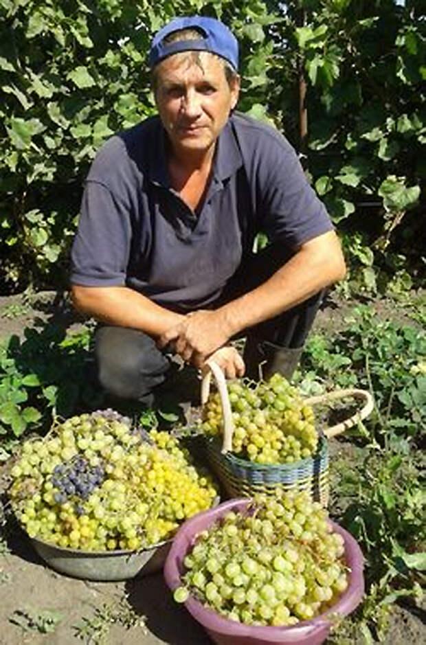 Сибирский виноград: опыт выращивания