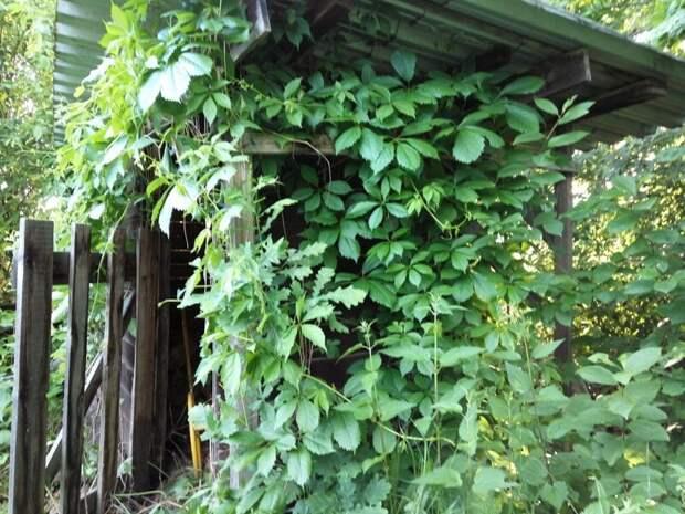 вот это вьющееся растение - дикий виноград - оплело буквально всё (выше на фото оно влезло в окно гаража) дача, земля, отдых, пикник, труд, участок