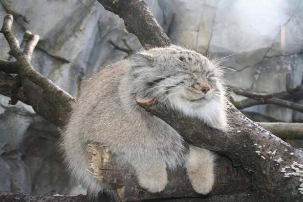 12 видов диких кошек, о которых вы незнали