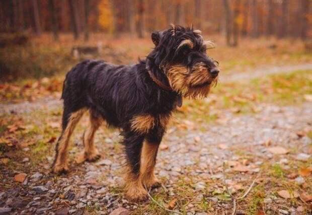 Немецкий ягдтерьер больших, бульдог, до маленьких, питомец, породы, собак, такса