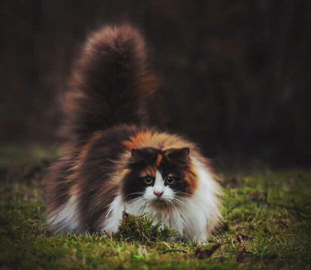 20 ну очень пушистых котиков, в которых невозможно не влюбиться