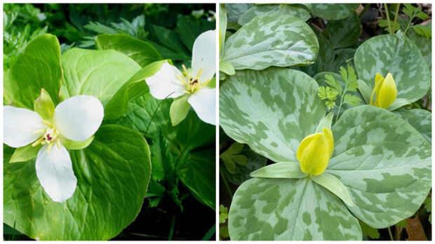 Триллиум камчатский, фото сайта Soules Garden и т. желтый, фото сайта Blumen Gardens
