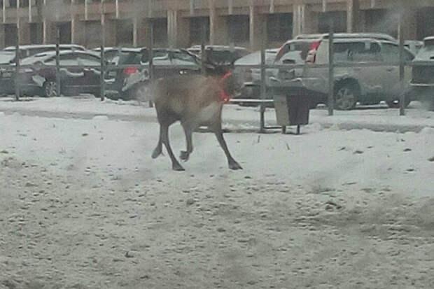По Петербургу в серое сырое утро пробежал… олень