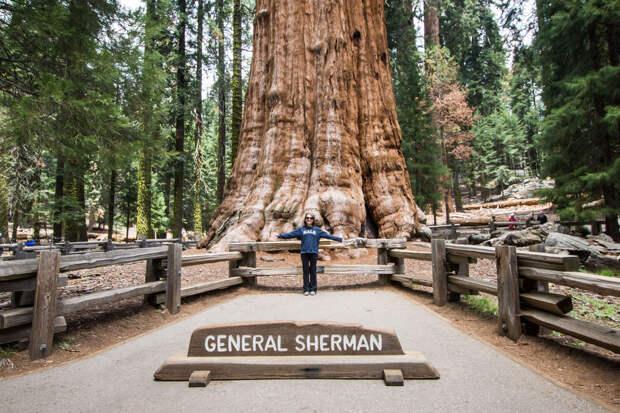 Впечталяющие факты о дереве Генерал Шерман: окружность ствола дерева у самой земли - 31,3 м, а максимальный диаметр ствола у основания - 11,1 м. Диаметр самой большой ветви - 2,1 м. Высота расположения первой крупной ветви над основанием - 39,6 м.  Средн