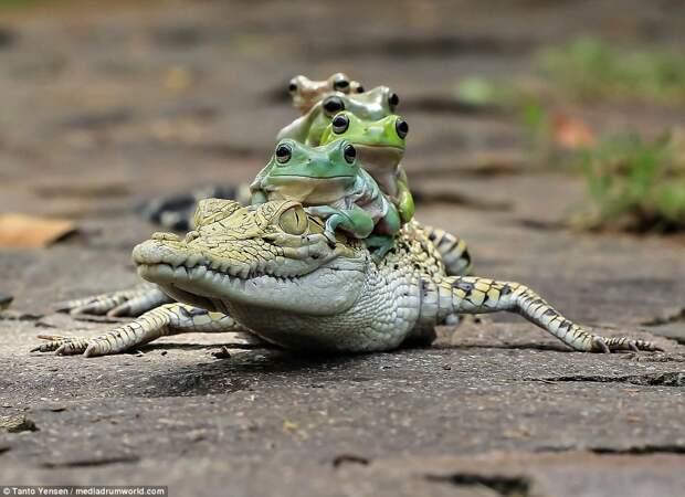 Кайман выглядел несколько обескураженным, но был настроен миролюбиво. в мире животных, лягушки