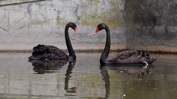 В Симферопольском зооуголке поселилась пара черных лебедей