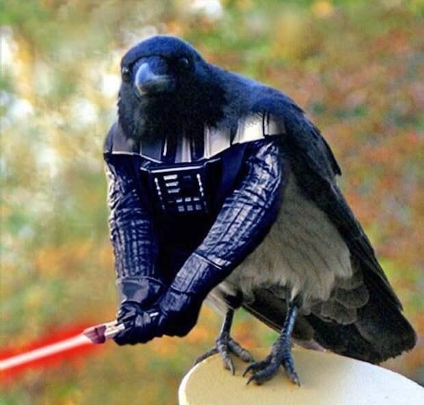 Самый смелый в мире ворон