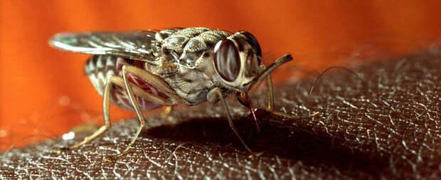 Проклятье Африки: как муха цеце предопределила экономическое отставание континента