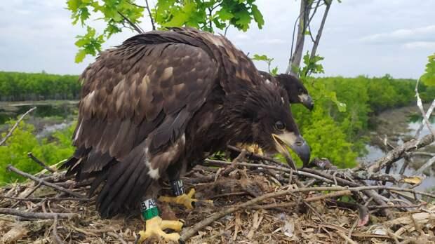 В Удмуртии провели окольцовку краснокнижных орланов