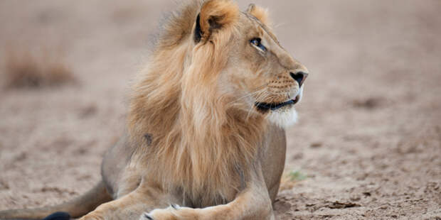 Лев в Кении забрел в столичный квартал