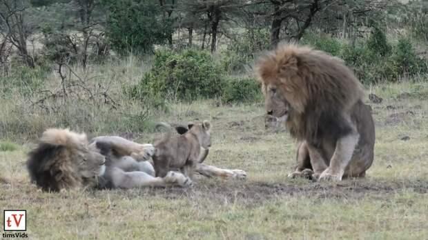 Видео: Назойливые львята надоедают пытающемуся вздремнуть отцу