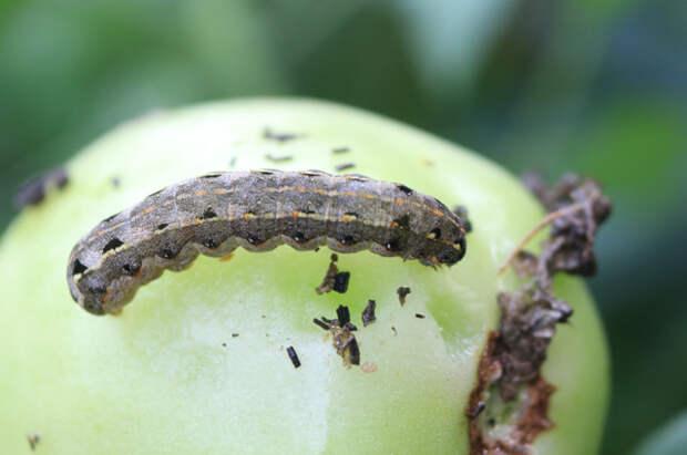 Гусеница совки хлопковой натомате.
