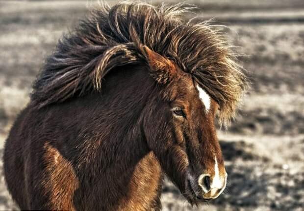 Лошади, которых вы видите на этих снимках, живут в горах Исландии, и они свободны, как ветер. животные фотографии, лошадь