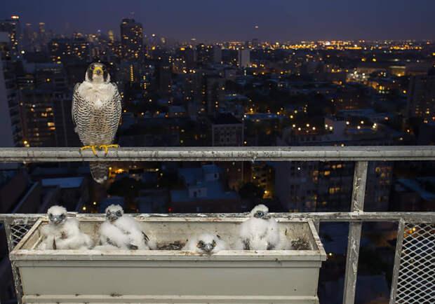 Птенцы самой быстрой птицы, способной развивать самую высокую скорость среди всех живых существ на планете.