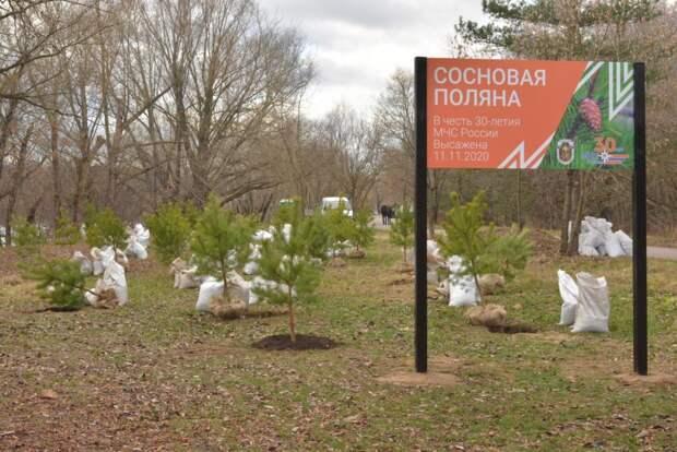В Серебряном Бору высадили 30 хвойных деревьев