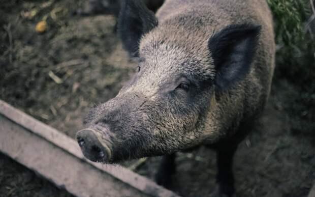 На складе под Волгоградом объявили карантин из-за обнаруженной африканской чумы свиней