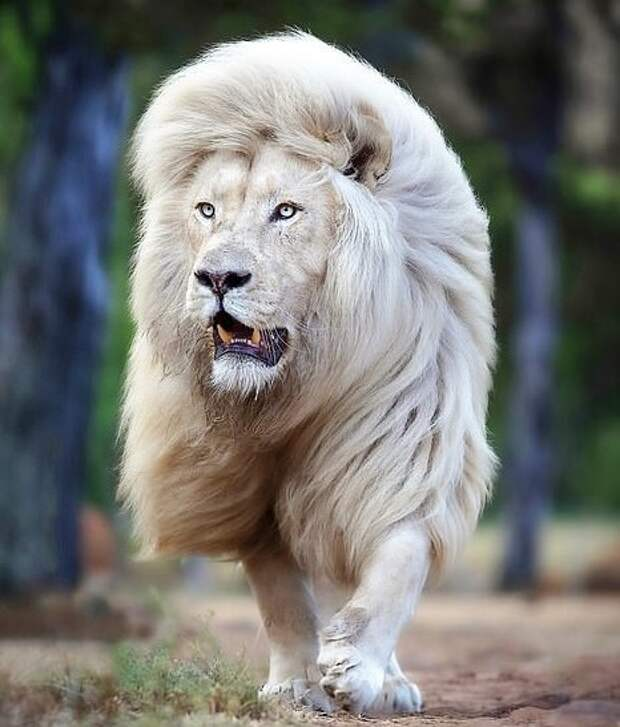 Знакомьтесь: самый красивый белый лев в мире — Мойа, собственной персоной